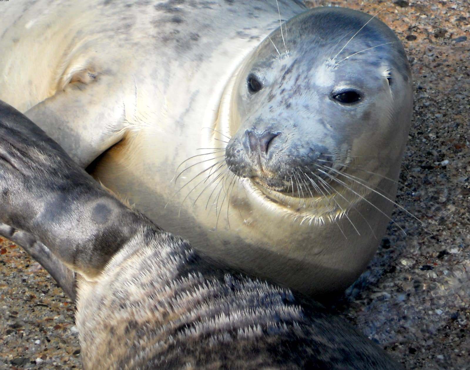 Grey seal in Cornwall