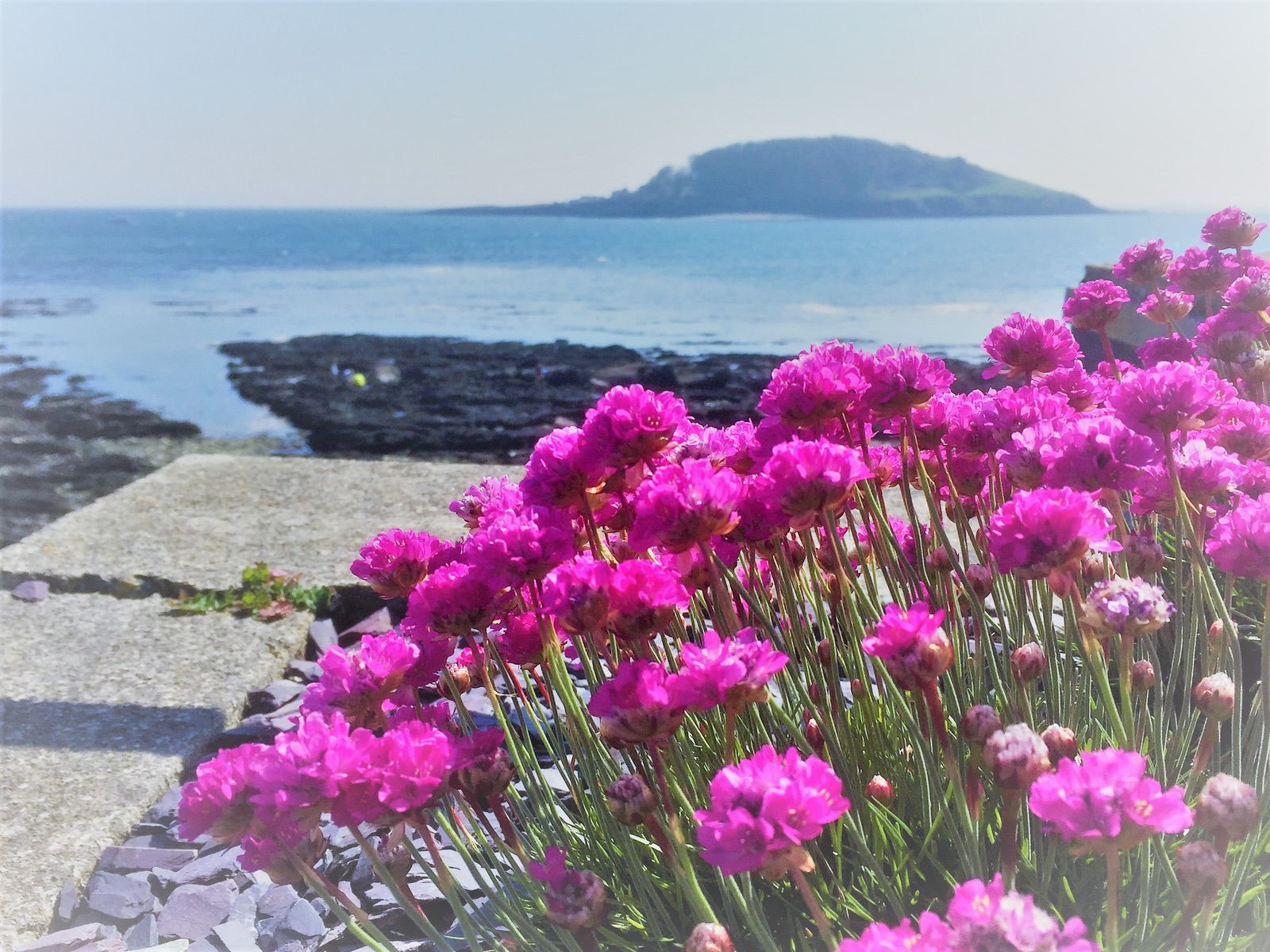 Colourful spring thrift at Hannafore with Looe Island background