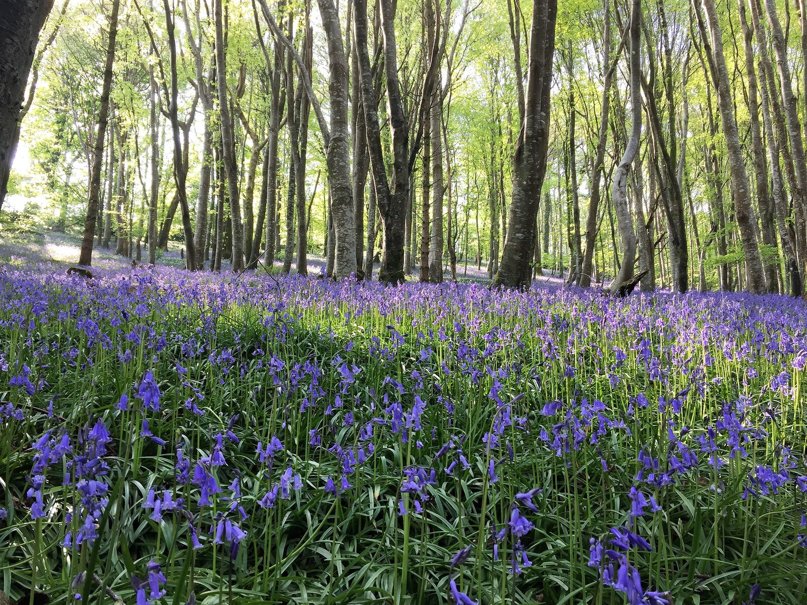 Carpet of bluebells in woodland of the Looe Valley Cornwall