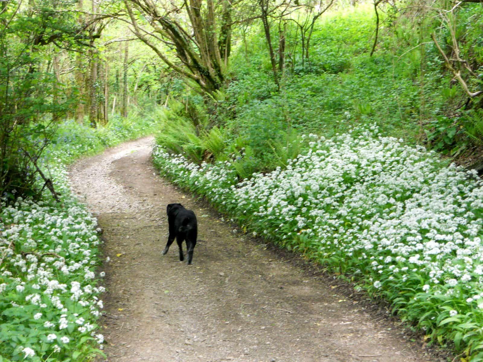 Black dog walking on country lane near wild garlic
